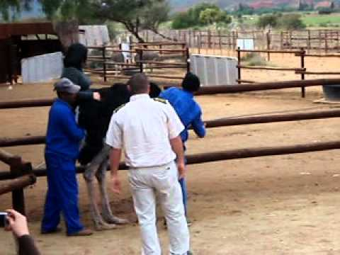 Ostrich Riding in Oudtshoorn, South Africa