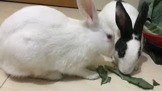 What is rabbit main food|Rabbit diet|Best food for rabbit