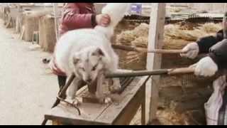 اكل الكلاب في الصين