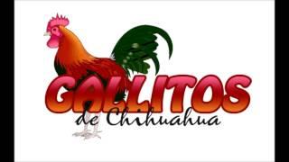 los gallitos de chihuahua - ojitos negros chinitos.2014