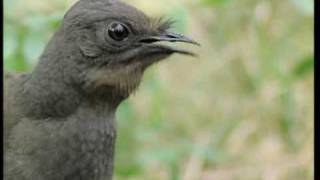 Attenborough: the amazing Lyre Bird sings like a chainsaw! Now in high quality - BBC Earth