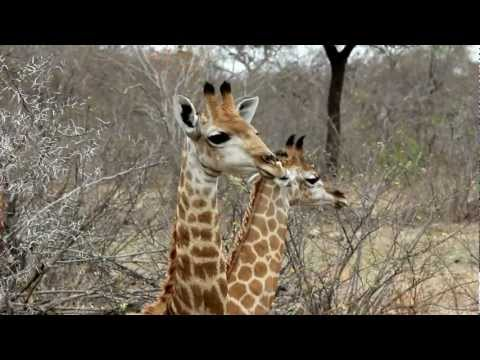 African Safari–Giraffes & Impalas