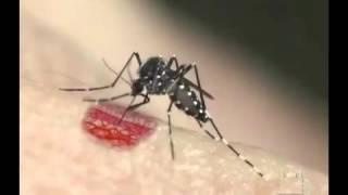 DENGUE - Aedes Aegypti picando uma pessoa