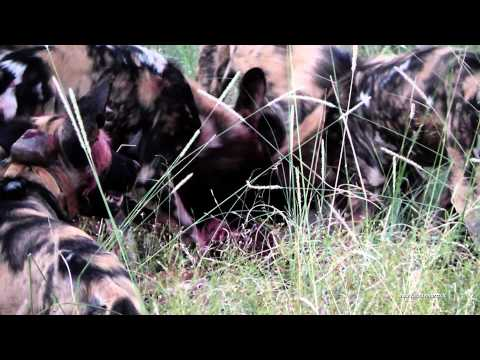 safari wild dog