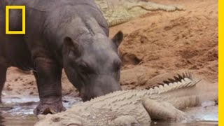 Hippo Licks Croc | National Geographic