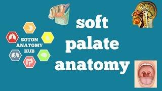 Soft palate anatomy