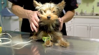 Small Yorkie vs. Big Dog Spells Trouble