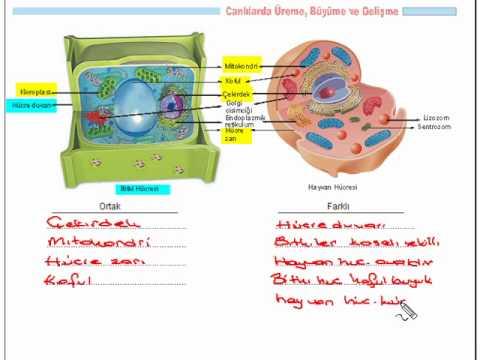 Tutmabeni.com 6.Sınıf Fen ve Teknoloji Dersi Hücre Konusu