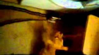 cainele -voce de aur-