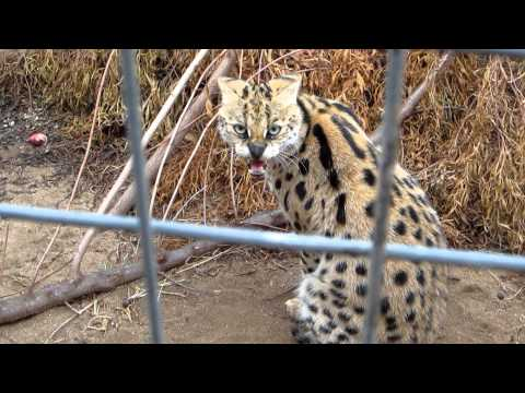 Angry Kitty at Predator World – South Africa – November 2011