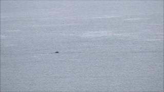 Humpback whale at Berry Head, 12/3/17