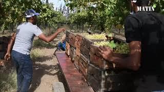 Récolte des raisins : une saison difficile pour les agriculteurs de la région d'Aghbal