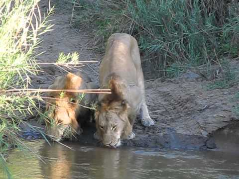 Lions Drinking Water at Kirkman's Camp, South Africa