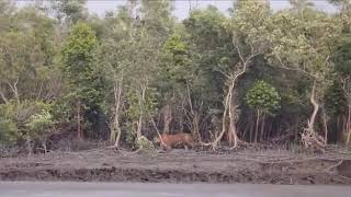 Royal Bengal Tiger Roaring at sundarban Jungles