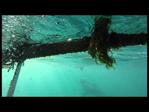SharkDive