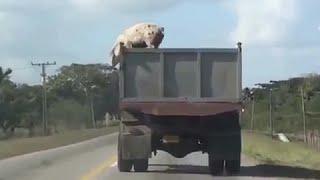 Pig Jumps from Truck - חזירה קופצת ממשאית בדרכה לשחיטה