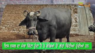 153) beautiful nili Ravi buffalo 9-8-2019 for sale in