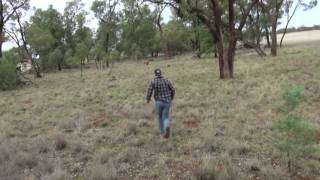 KING PERCY ABORIGINAL VOICE DUB - KANGAROO GETS WILD WITH CAR