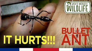 SAVAGE BULLET ANT STING!  | Costa Series |