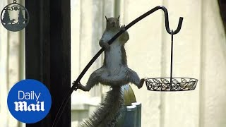 Squirrel tries its best to hang onto slippery bird feeder pole