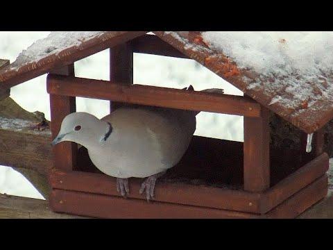 Sierpówka - zimą dokarmiamy ptaki: co najchętniej jedzą sierpówki