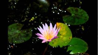 Pink Lotus Flower time-lapse WWW.GOODNEWS.WS