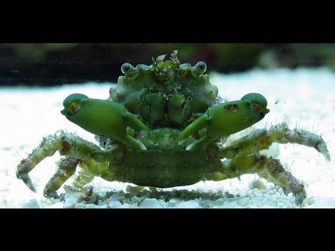 Emerald Crabs in the lab