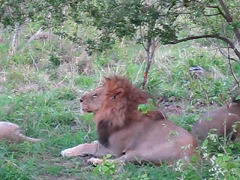 Sabi Sands Lion