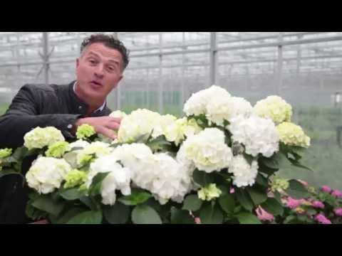 Het verkleuren van de witte hortensia