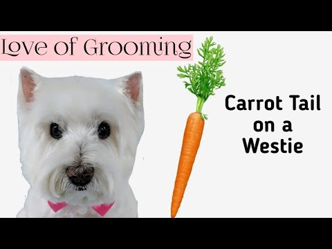 Grooming a Carrot Style Tail on a West Highland Terriers