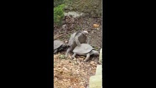 Turtles mating. The male was making noises and has a funny look on his face.