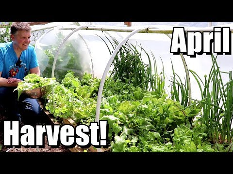 April Harvest & Update on Tomatoes, Sweet Potatoes, Beans, Squash, etc.