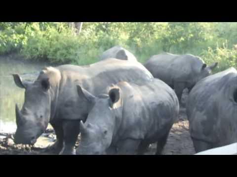 Safari Rhinos