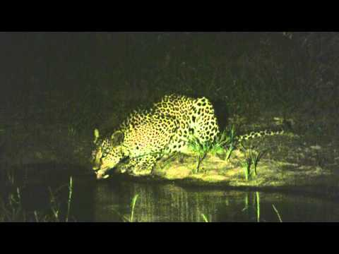 Leopard at Night: Mala Mala Preserve, South Africa