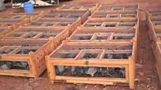 pigeon voyageur  à safi  Concours de Tan Tan 2008 (chourite)