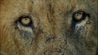 Scary Man-eating Lions - Ultimate Killers - BBC