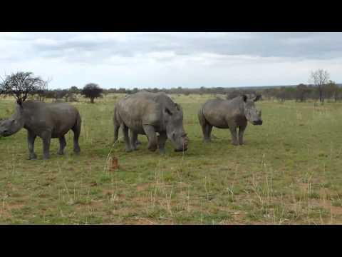 South Africa Anti-Poaching White Rhino Charge with photos