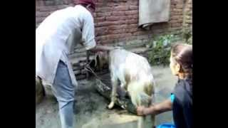 Goat for meat on festival (27-11-2009).mp4