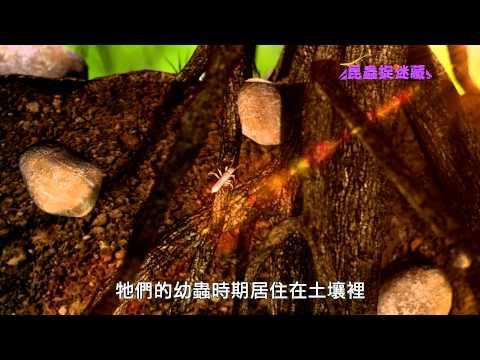 《昆蟲捉迷藏》不在樹上的蟬【與眾不同:草蟬與角蟬】 - YouTube
