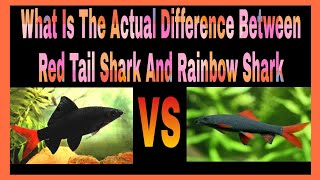 What Is The Actual Difference Between Red Tail Shark And Rainbow Shark