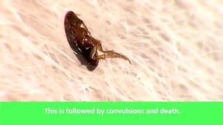 How Activyl Works On Fleas 蚤點靈如何對跳蚤作用