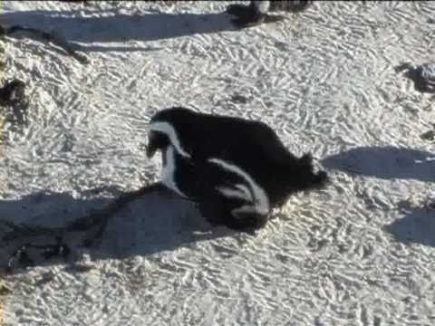 African Penguins falling in love at Boulders Beach, South Africa
