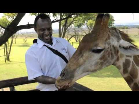 Mr Ramafola feeds a Giraffe
