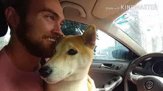 Shiba Inus' First Time at a Car Wash (柴犬 v 洗車 !) 😂😂