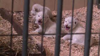 Quattro cuccioli di leone bianco sono nati in uno zoo in Polonia