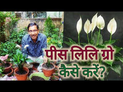 पीस लिलि ग्रो करने का सबसे अच्छा तरीका देख लीजिए / Best trick for Growing Peace lily Spathyphyllum