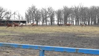 Clyde's Herd Galloping