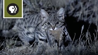 Meet the Deadliest Cat on the Planet width=