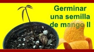 Cómo sembrar y germinar una semilla de mango II