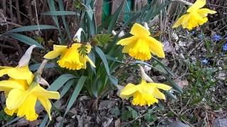 Cinco hermosísimas flores amarillas brillando en la preciosa tarde de hoy día en mes de abril